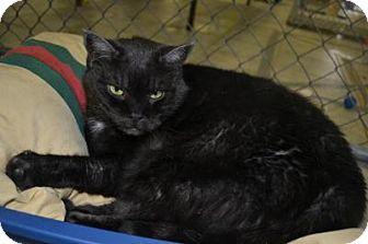 Domestic Shorthair Cat for adoption in East Smithfield, Pennsylvania - Firefly