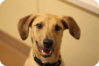 Labrador Retriever Mix Dog for adoption in Chicago, Illinois - Professor Dog