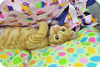 Domestic Shorthair Kitten for adoption in Highland Park, New Jersey - Yellow Bill