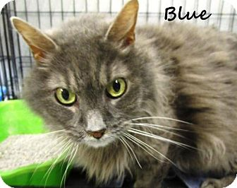 Domestic Longhair Cat for adoption in Crown Point, Indiana - Blue