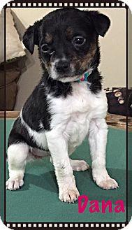 Terrier (Unknown Type, Medium) Mix Puppy for adoption in Laingsburg, Michigan - Dana