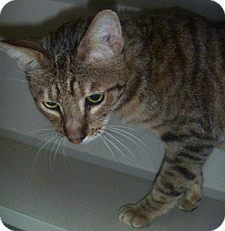 Domestic Shorthair Cat for adoption in Hamburg, New York - Mr. Jaffey