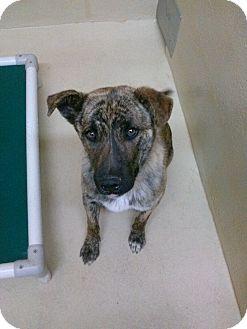 German Shepherd Dog/Hound (Unknown Type) Mix Dog for adoption in Divide, Colorado - Tango