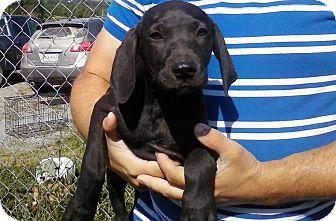 Labrador Retriever Mix Puppy for adoption in Staunton, Virginia - Anne