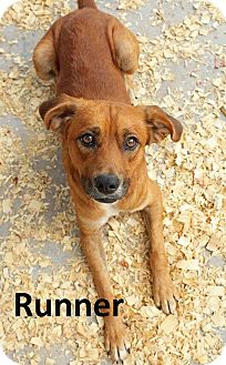 Beagle/Terrier (Unknown Type, Small) Mix Puppy for adoption in Leslie, Arkansas - Runner