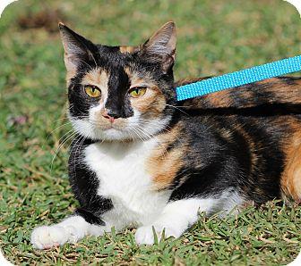 Calico Cat for adoption in Ocean Springs, Mississippi - Lottie Da