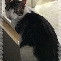 Domestic Shorthair Cat for adoption in Stanwood, Washington - TP