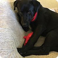 Adopt A Pet :: Dreyfus - Boston, MA