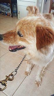 Cattle Dog Mix Dog for adoption in Valencia, California - Mcgloughlin
