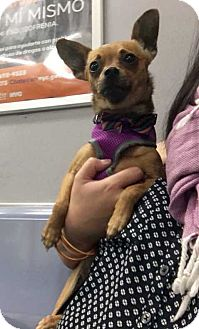 Chihuahua Mix Dog for adoption in New York, New York - Scarlett!