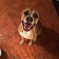 American Pit Bull Terrier/American Bulldog Mix Dog for adoption in Miami, Florida - Penelope (Penny)