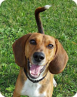 Beagle Mix Dog for adoption in Grayslake, Illinois - Mr. Milton