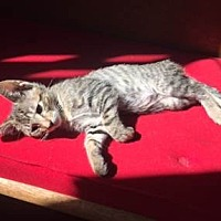 Domestic Shorthair Kitten for adoption in Los Angeles, California - TYRION