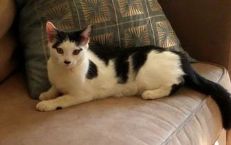 Domestic Shorthair/Domestic Shorthair Mix Cat for adoption in THORNHILL, Ontario - MABEL