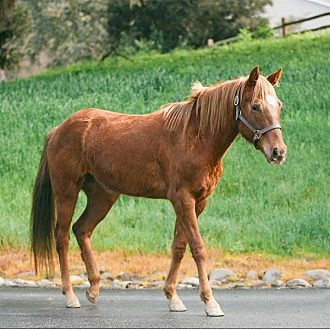 Quarterhorse Mix for adoption in Monterey, California - Daisy