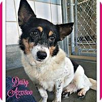 Adopt A Pet :: DAISY - San Antonio, TX