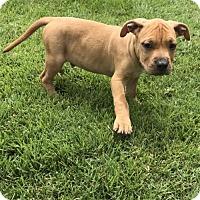 Adopt A Pet :: Calvin - Charleston, WV