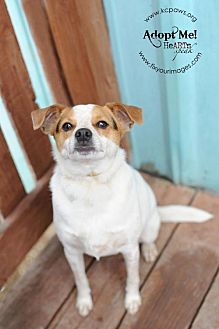 Rat Terrier/Beagle Mix Dog for adoption in Liberty, Missouri - Sparky