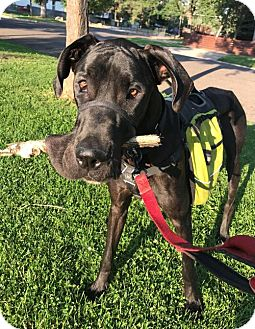 Great Dane Dog for adoption in Lakewood, Colorado - Tigs