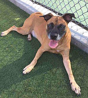 Boxer Mix Dog for adoption in Vista, California - DJ