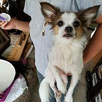 Adopt A Pet :: Amigo - Palm Bay, FL
