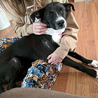 Adopt A Pet :: Cersei - Frederick, MD
