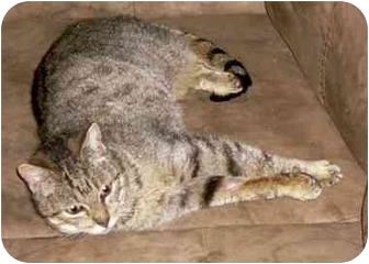 Domestic Shorthair Cat for adoption in Tillamook, Oregon - Melody