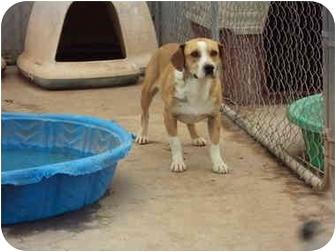 Sheltie, Shetland Sheepdog/Beagle Mix Dog for adoption in Anton, Texas - Justice