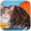 Photo 2 - Domestic Shorthair Cat for adoption in Cincinnati, Ohio - Mocha Latte