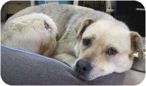 Labrador Retriever/Australian Shepherd Mix Dog for adoption in Kansas City, Missouri - **Critical** Praline