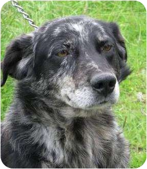 Australian Shepherd Mix Dog for adoption in Salem, Oregon - Duke