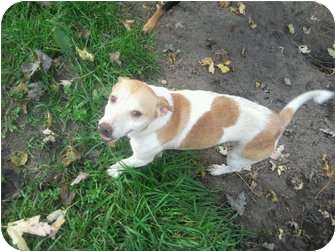 Jack Russell Terrier Dog for adoption in Wauseon, Ohio - Jack