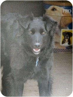 Border Collie Mix Dog for adoption in Merritt, British Columbia - Baby