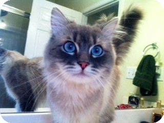 Ragdoll Cat for adoption in Nolensville, Tennessee - Charlie