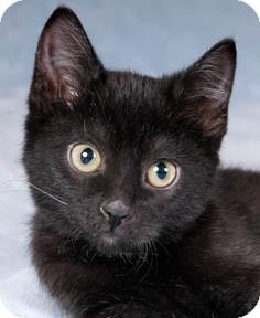 Domestic Shorthair Kitten for adoption in Chicago, Illinois - Lindsay