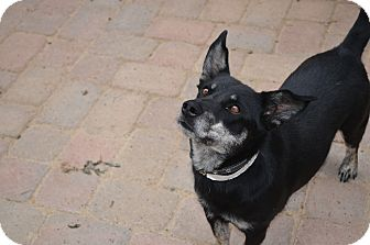 Corgi/Shepherd (Unknown Type) Mix Dog for adoption in Westminster, Colorado - Wonka