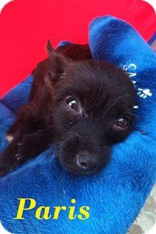 Terrier (Unknown Type, Small) Mix Puppy for adoption in Davie, Florida - Paris