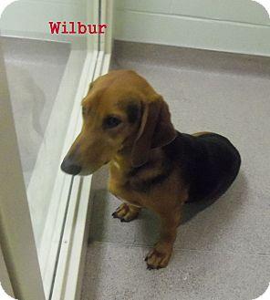 Dachshund/Basset Hound Mix Dog for adoption in Slidell, Louisiana - Wilbur