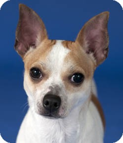 Chihuahua/Terrier (Unknown Type, Small) Mix Dog for adoption in Chicago, Illinois - Mickey