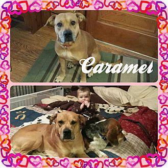 Labrador Retriever Dog for adoption in DOVER, Ohio - Caramel