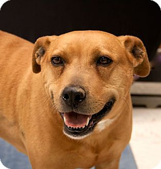 American Pit Bull Terrier Mix Dog for adoption in Martinsville, Indiana - Tyson