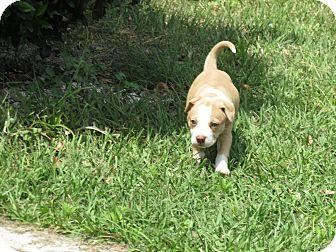 Labrador Retriever/American Bulldog Mix Puppy for adoption in Middleburg, Florida - Libby