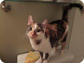 Domestic Shorthair Cat for adoption in Cincinnati, Ohio - Elfie