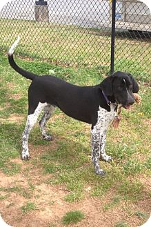 Great Dane/Spaniel (Unknown Type) Mix Dog for adoption in Baden, Pennsylvania - Dugger