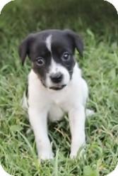 Terrier (Unknown Type, Small) Mix Puppy for adoption in Schertz, Texas - Becca