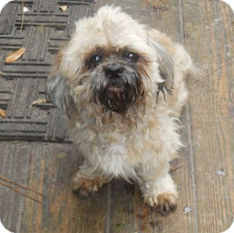 Shih Tzu Dog for adoption in Old Town, Florida - Mark