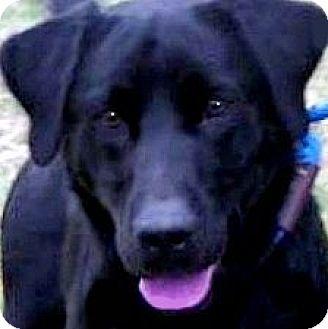 Labrador Retriever Dog for adoption in Wakefield, Rhode Island - BOOKER(GORGEOUS PB LAB!! WOW!