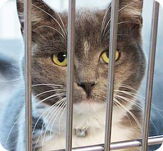 Domestic Shorthair Cat for adoption in Irvine, California - Jerry