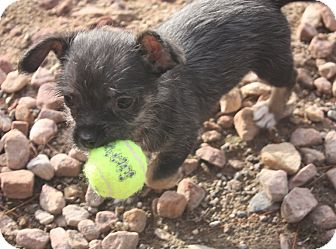 Terrier (Unknown Type, Small) Mix Puppy for adoption in Henderson, Nevada - Lennon