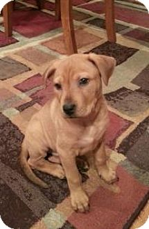Labrador Retriever/Hound (Unknown Type) Mix Puppy for adoption in Marlton, New Jersey - Ginger